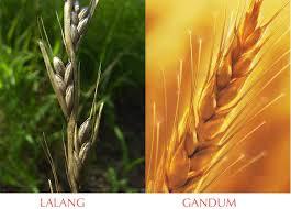 lalang mirip gandum
